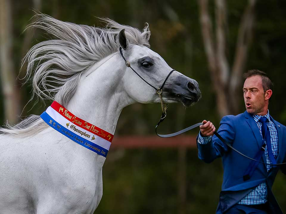 Champion Purebred Arabian Stallion, Nazaryan PH with Paul Hedges