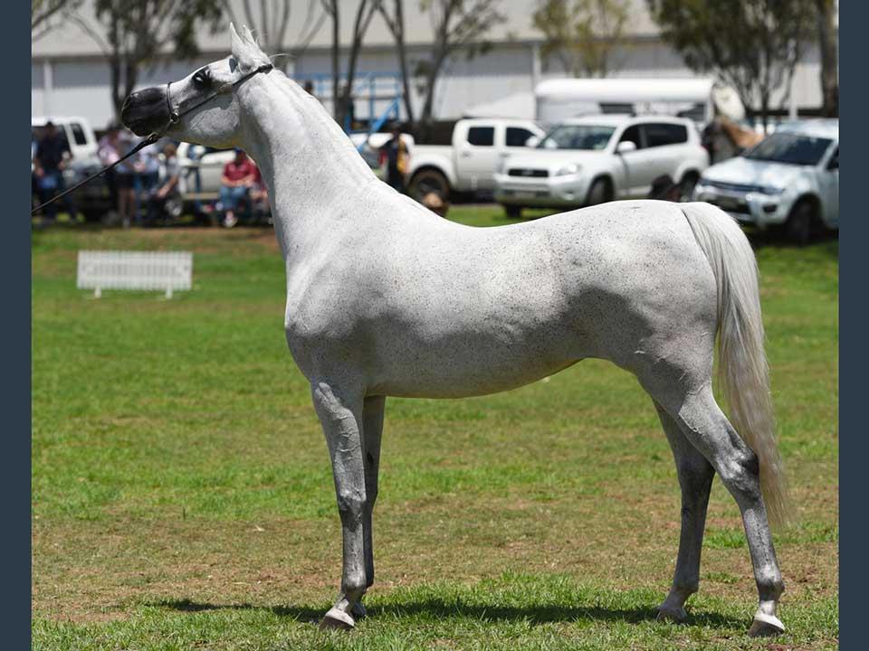 Champion Senior Mare, Ludgina El Saudi HRA (Saudi El Perseus x Essence El Jamaal), exhibitor Heath Rowbottom