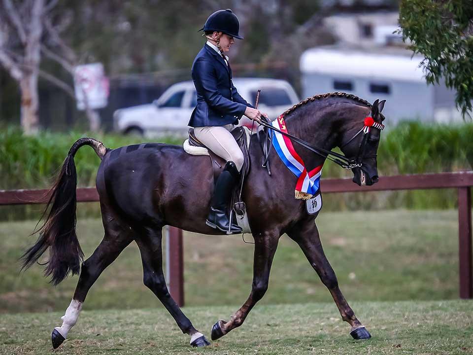 Champion Ridden Purebred Stallion Konquest MI, Mulawa Stud