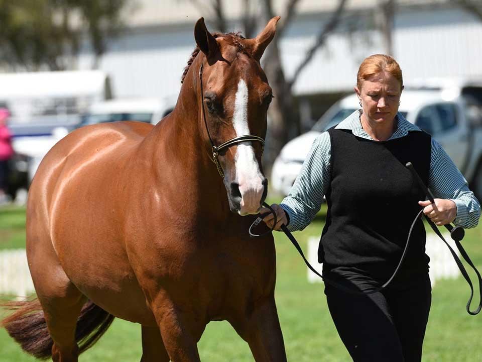 First Purebred Gelding 10 Years & Over, Moondarra Code Red (Samson Tai x Moondarra Mira), exhibitor Moondarra Arabians