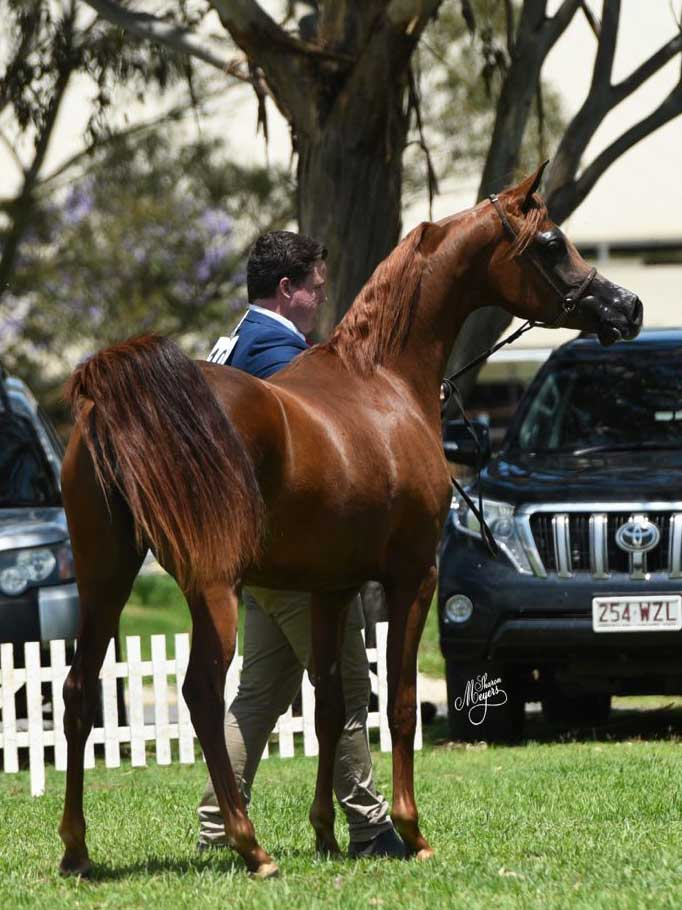 Supreme Purebred Exhibit was the mare Marwans Gold KA (RHR Heir of Marwan x Shannonbrook Sheena), exhibitor Khalid Arabians