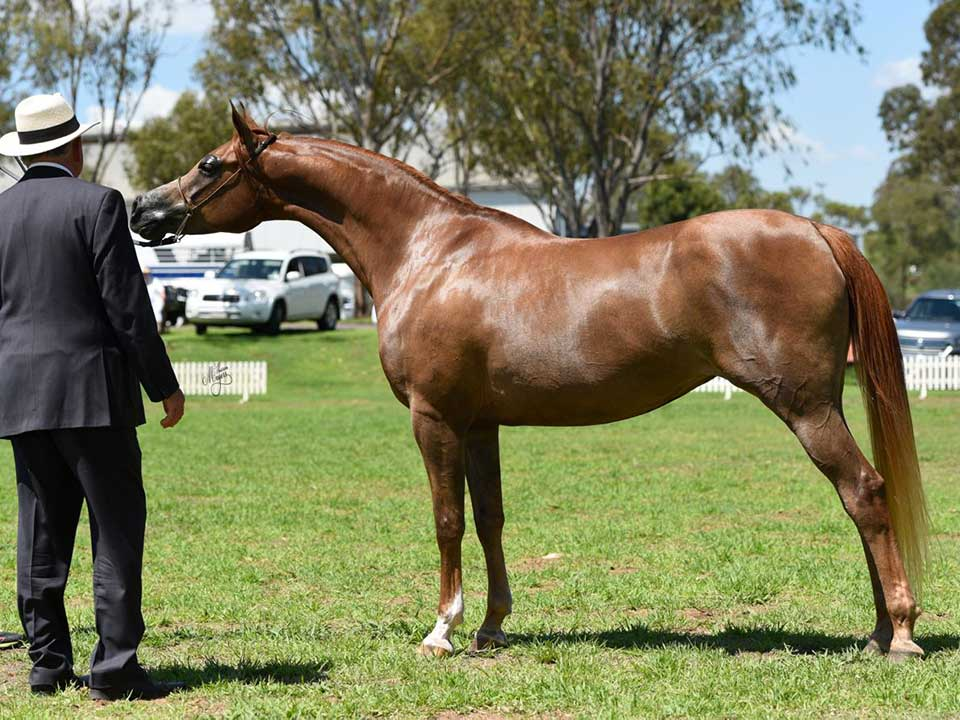 Supreme Crabbet Related Exhibit was the mare Ramadan Markabella (Makers Mark x Artell Arielle), exhibitor Cathy Campbell