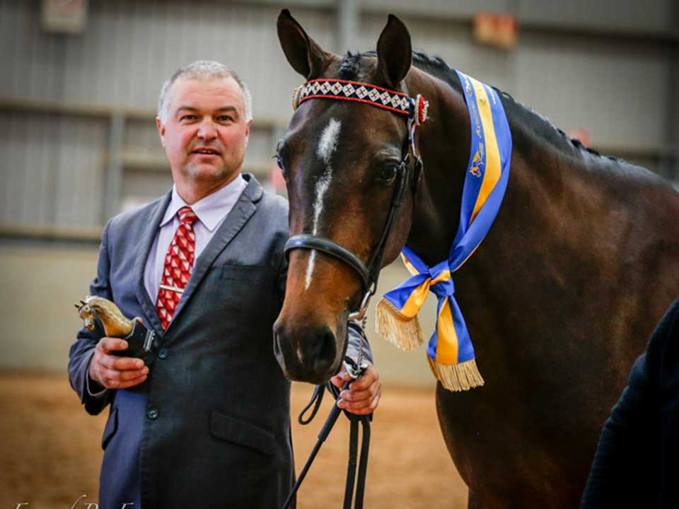 Champion Arabian Warmblood Mare Archill Double Agent owned by Donna White, shown by Silvio Galea