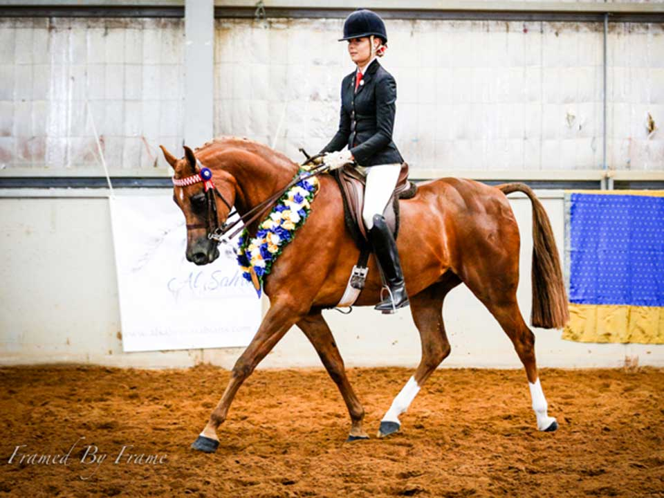 Supreme Purebred under saddle Balmoral MI, owned and shown by Jessica Henn