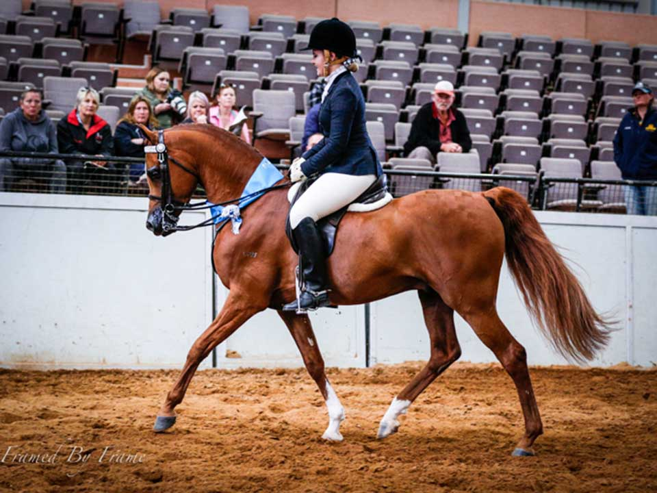 Purebred Stallion Impreza owned by Tabitha Gail of Golden Willows Arabians and ridden by Sarah Huxtable