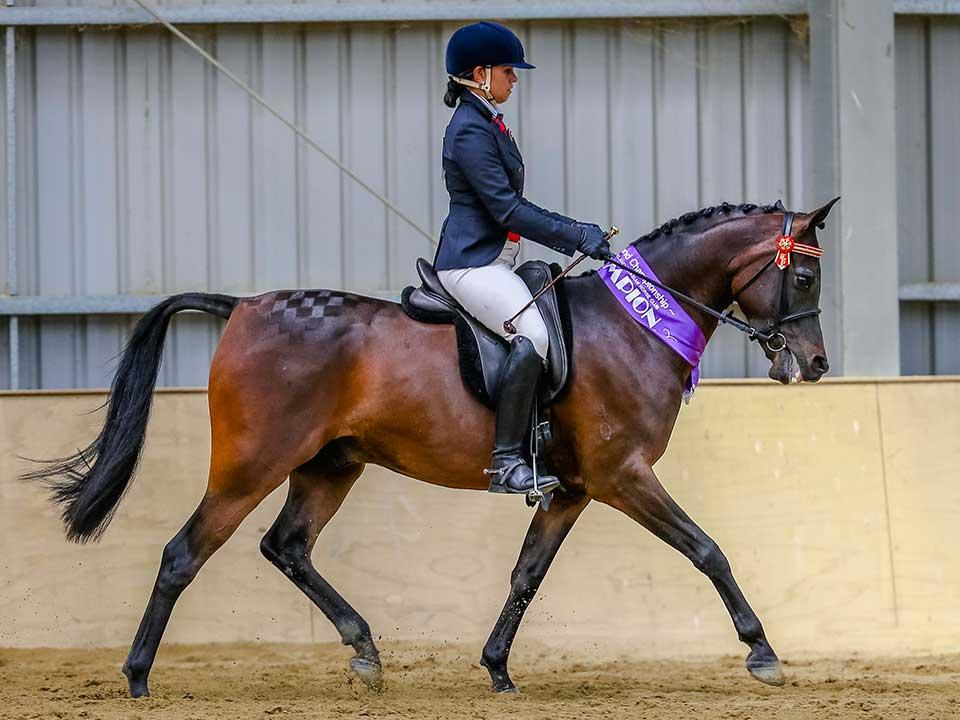 Supreme Champion Ridden Purebred Arabian, RNZ Steinmaster, exhibitor Adele Maraki