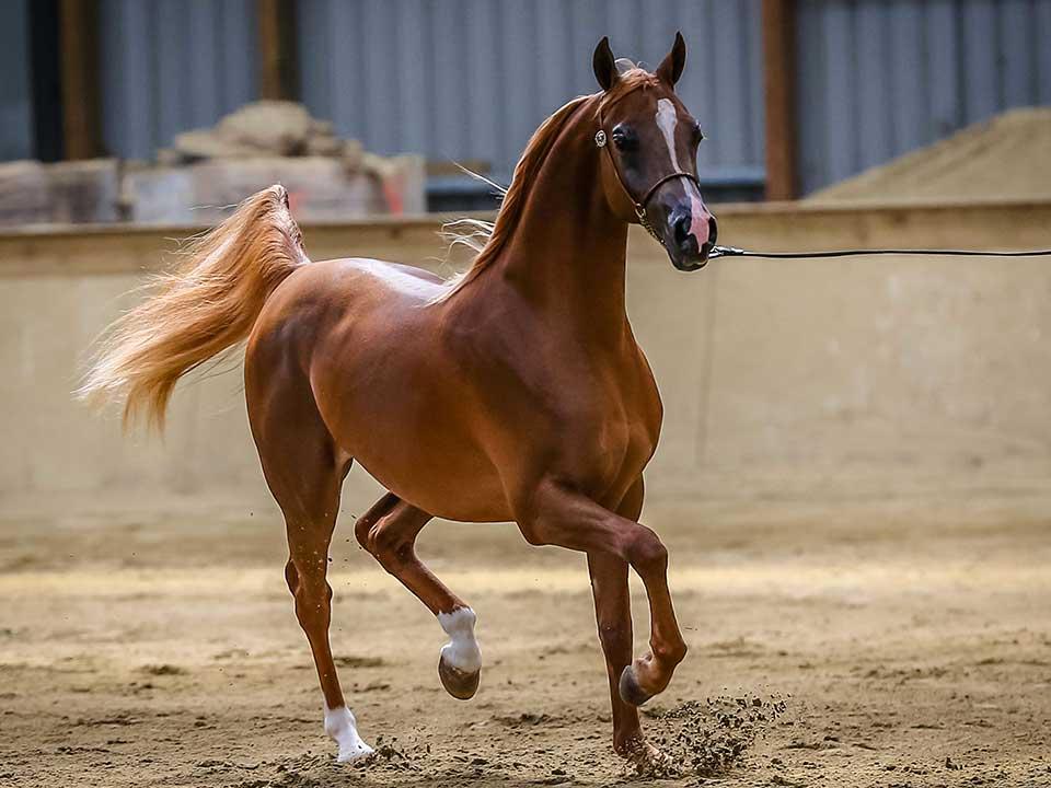 Champion Purebred Colt, Truly Ajman, exhibitor Kiva Arabians