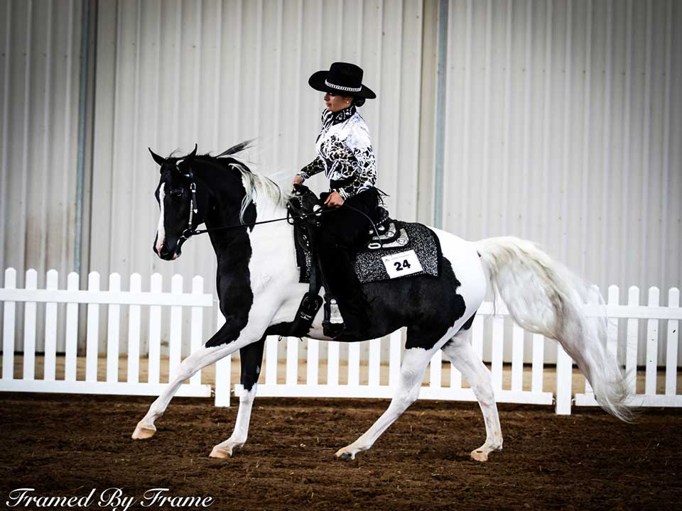 Champion Western Pleasure Zintahn Fantasy On Ice ridden by Elouise Lando, owned by South Serenity Arabians