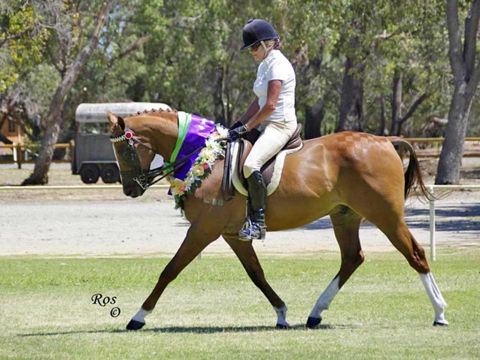 Partbred Arabian Redline Shooting Star, a multi Supreme of All Breeds - halter and under saddle
