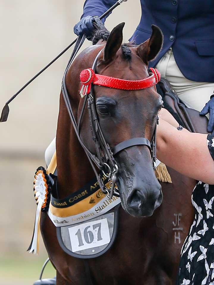 Champion Arabian Stallion Bridlepath Hack, Burren-Dah Valentino